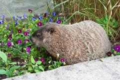 Big marmot sniffing flowers Royalty Free Stock Photography