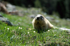 Big marmot walking in the grass and flowers. Big front marmot walking in the grass and flowers, in french alps, France Royalty Free Stock Images