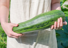 Big marrow squash Stock Images