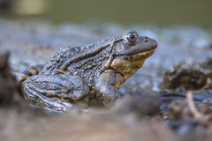 Big Marsh frog Royalty Free Stock Photography