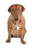 Big Mastiff Portrait Stock Photos