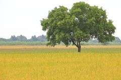 Big mature stand alone tree on the golden meadow field stock images