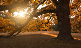 Big mature tree. In autumn park Royalty Free Stock Photography