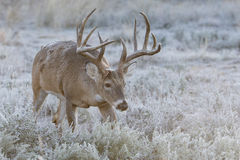 Big mature whitetail buck trailing a doe in heat Royalty Free Stock Image