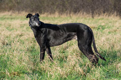 Big Max Greyhound. In the paddock Stock Photos