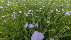 Flax flowers swaying on wind stock footage