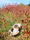 Big meadows brush field and deer skull Stock Image