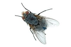 Big meat fly Royalty Free Stock Images
