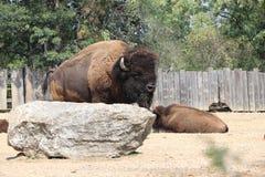 Herd of bison in the pasture stock photo