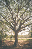 Big Mimosa tree Stock Photos