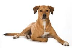 Big mixed breed dog lying on white background stock photography