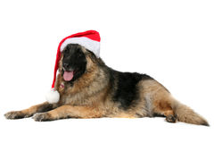 Big mixed breed dog wearing a santa hat Royalty Free Stock Photo