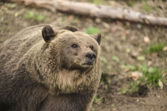 Big mom brown bear Stock Photos