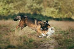 Two cute dogs, little pomeranian spitz, and large mongrel dog walking on a field in summer day. Big mongrel dog bites pomeranian spitz by the neck on a field in royalty free stock photo