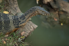 Big monitor lizard Royalty Free Stock Photo