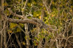Big monitor lizard in Sundarbans in India Royalty Free Stock Photo