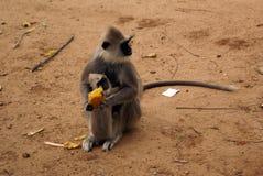 Big monkey and baby. Monkey eat mango fruit on the road Stock Photos