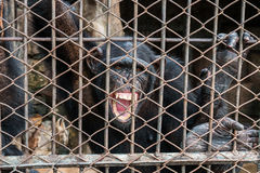 Big monkey in cage open mouth Stock Photo