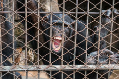 Big monkey in cage. Open mouth look at camera Royalty Free Stock Images