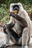 Big monkey eating banana. Big gray monkey eating banana, india stock image