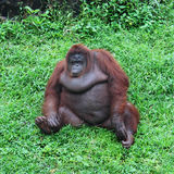 Big monkey on  green grass Stock Photo
