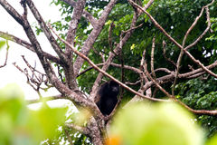 Big Monkey. A big monkey sits in a tree looking out Royalty Free Stock Image