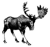 Big moose. Elk. Ink drawing. There is an option in the vector Stock Photo