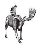 Big moose. Ink drawing. Royalty Free Stock Photos