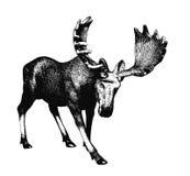 Big moose. Ink drawing. Stock Photo