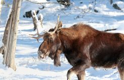 Big moose. In nature during winter Stock Photos