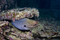 Big moray living in Thistlegorm Stock Photo