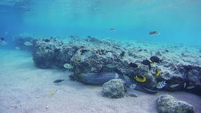Big Moray Swims on Coral Reef in Red Sea, Egypt. Beautiful Colorful Tropical Fish on Vibrant Coral Reefs Underwater in the Red Sea. Egypt. Sealife in the Red stock footage