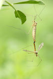 Big mosquito Royalty Free Stock Images