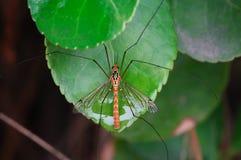 Big mosquito Stock Photography