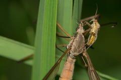 Big mosquito Royalty Free Stock Image