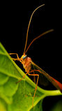 Big Mosquito Sitting on the Leaf Stock Photography
