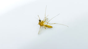 Big mosquitoes dead on white background Stock Photos