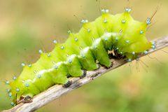 Big moth caterpillar Royalty Free Stock Photos