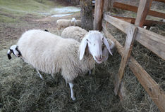 Big mother ewe and her lamb hiding behind Stock Image