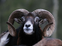 Big mouflon is looking Stock Photo