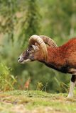 Big mouflon ram over green background Royalty Free Stock Images