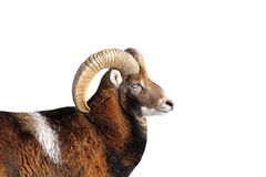 Big mouflon ram portrait over white Stock Image
