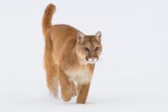 Big mountain lion Royalty Free Stock Photo