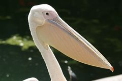 Big mouth bird Stock Photography