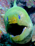 Big mouth Eel stock image