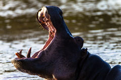 Big Mouth Hippo Stock Photo