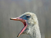 Big Mouth Ostrich Royalty Free Stock Photo