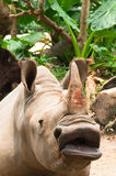 Big Mouth Rhino. A Big Mouth African Rhino Begging for Food Stock Photos