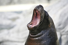 Big mouthed sea lion Royalty Free Stock Images