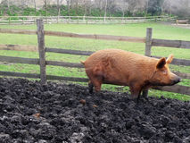 Big Muddy Pig. A big brown pig in a muddy field Stock Photos